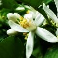 Цветок бергамота