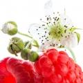 Ազնվամորու ծաղիկ