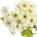 Ալոճենու ծաղիկ