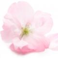 Բալի ծաղիկ