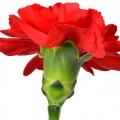 Ծաղիկ մեխակ