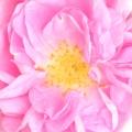 Տաֆա վարդ