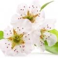 Տանձենու ծաղիկ