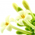 Цветок папайи