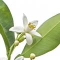 Նարինջի ծաղիկ