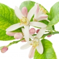 Լիմոնի ծաղիկ