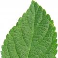 Лист лантана