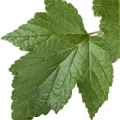 Black currant leaf